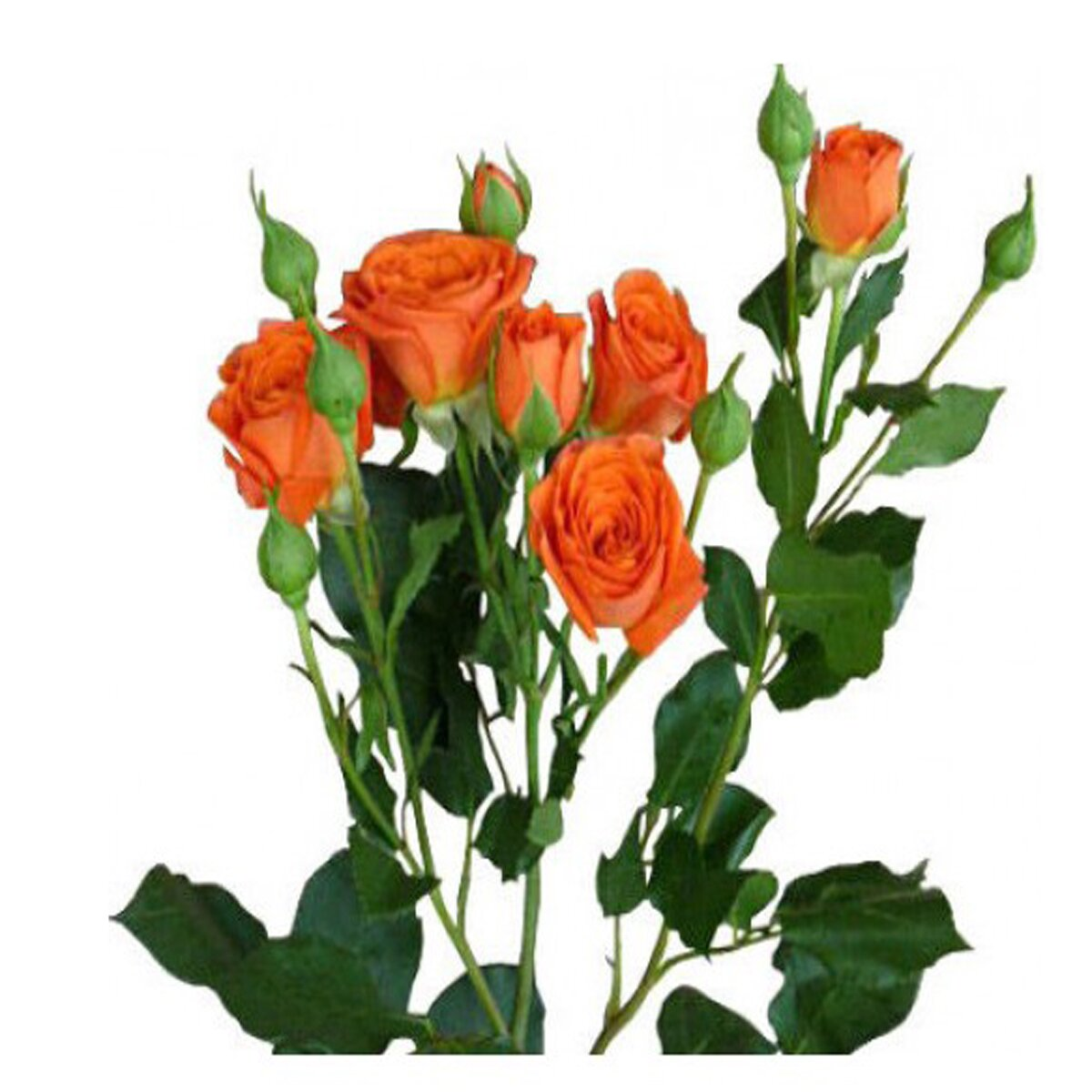 Кустовая роза оранжевая