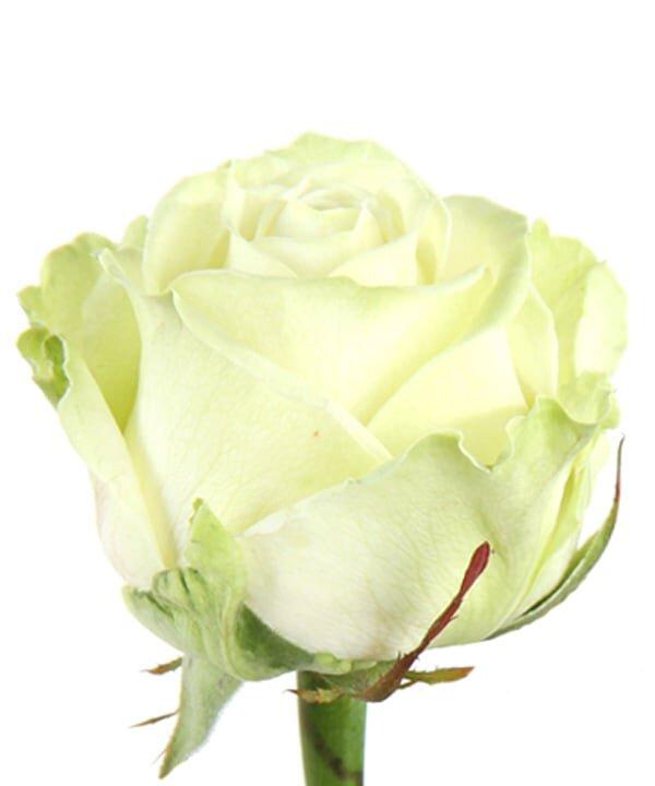 Роза белая РБ 60 см
