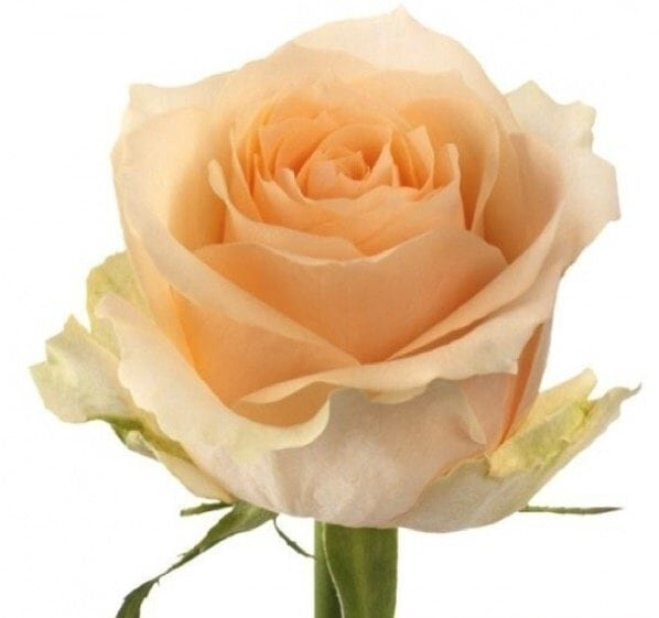 Роза кремовая РБ 60 см